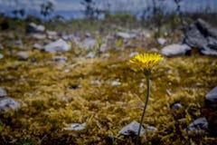 Wenig gelbe Blume im wilden Lizenzfreie Stockfotografie