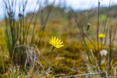 Wenig gelbe Blume im wilden Lizenzfreie Stockfotos