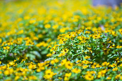 Wenig gelbe Sternblume lizenzfreies stockbild