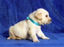 Wenig gelber Labrador-Welpe, der auf den blauen Hintergrund legt Lizenzfreie Stockfotos
