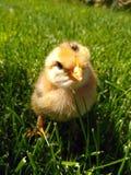 Wenig gelbes Huhn ist im grünen Gras lizenzfreie stockfotografie