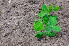 Wenig grüne Erbse, die in einem Garten wächst stockfotos