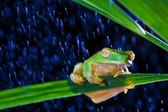 Wenig grüner Baumfrosch, der auf grünem Blatt sitzt Stockfotos