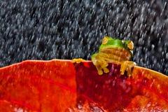 Wenig grüner Baumfrosch, der auf rotem Blatt sitzt Stockfoto