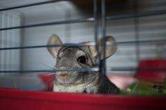 Wenig graue Chinchilla auf Tierkäfig im Innenraum lizenzfreie stockbilder