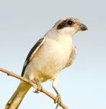 Wenig graues Shrike, Jugendlicher/Laniusuntersatz Lizenzfreies Stockbild