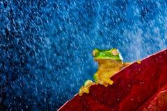 Wenig grüner Baumfrosch, der auf rotem Blatt sitzt Stockfotografie