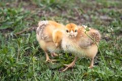 Wenig Huhn, gelbe H?hner auf dem Gras Errichtung von kleinen H?hnern Gefl?gelzucht stockfotos