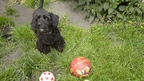 Wenig Hund, der mit dem Ball spielt stock video footage