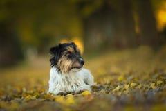Wenig Jack Russell Terrier liegt im natur Wald bei Sonnenuntergang lizenzfreie stockfotos