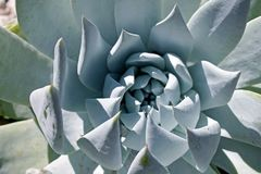 Wenig Juwel Succulent, Pachyphytums-compactum stockbilder