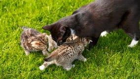 Wenig Kätzchen der getigerten Katze, die mit ihrer Katzenmutter auf dem Gras spielen stockfoto