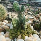 Wenig Kaktus Stockbild