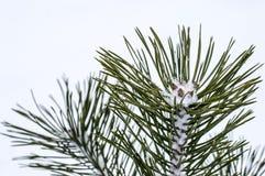 Wenig Kiefer im Schnee im Winter Lizenzfreies Stockbild