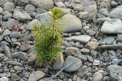 Wenig Kiefernsprössling wächst auf den grauen Steinen stockfotos