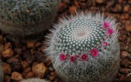 Wenig kleiner Kaktus mit kleinen rosa Blumen Lizenzfreie Stockfotografie