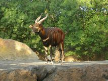 Wenig kudu Lizenzfreie Stockbilder