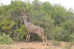 Wenig Kudu - Antilope Lizenzfreies Stockfoto