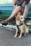 Wenig Labrador Lizenzfreies Stockbild