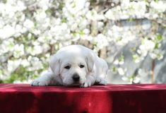 Wenig Labrador-Welpe im Park im Frühjahr Lizenzfreie Stockfotografie
