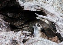 Wenig meerkat Lizenzfreie Stockfotos