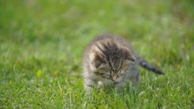 Wenig Miezekatze im grünen Gras stock footage