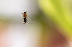 Wenig 3 Millimeter-Spinne Lizenzfreie Stockfotos