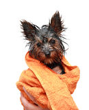 Wenig nasser Yorkshire-Terrier Stockfotografie