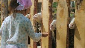 Wenig nettes Mädchen zieht die Schafe auf dem Bauernhof mit Karotten und Klettenblättern ein stock footage