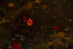 Wenig orange Kosmosblume stockfoto