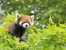 Wenig Panda stockbilder