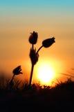 Wenig pasque Wildflower und aufgehende Sonne Lizenzfreie Stockfotografie