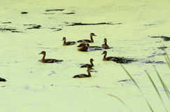 Wenig pfeifende Ente (Dendrocygna javanica) Lizenzfreie Stockfotografie