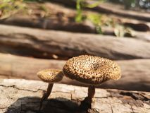 wenig Pilz zum Bauholz sind aber noch trocken stockbild