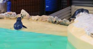 Wenig Pinguinschwimmen stock video