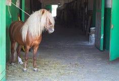Wenig Pony, Ingwerhengst im Stall stockfotografie
