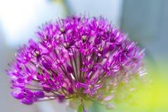 Wenig purpurrote Blüte Lizenzfreie Stockfotografie