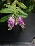 Wenig purpurrote Blume Stockfotografie