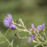 Wenig purpurrotes Blühen der wilden Blumen Lizenzfreie Stockfotos