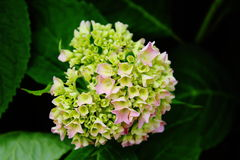 Wenig rosa Blume - Knospe stockfoto