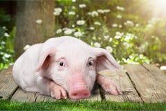 Wenig Rosa piggy auf hölzernem Hintergrund im Garten Stockbilder