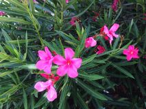 Wenig rosafarbene Blume lizenzfreie stockfotos
