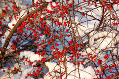 Wenig rote Beerenlüge auf Schnee Stockbild