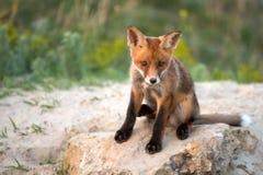 Wenig roter Fox, der nahe seinem Loch betrachtet die Kamera sitzt Stockfotografie
