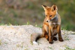 Wenig roter Fox, der nahe seinem Loch betrachtet die Kamera sitzt Stockfoto