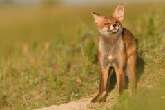 Wenig roter Fox, der nahe seinem Loch im schönen Sonnenlicht sitzt Lizenzfreie Stockbilder