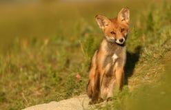 Wenig roter Fox, der nahe seinem Loch im schönen Sonnenlicht sitzt Lizenzfreies Stockbild