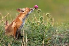 Wenig roter Fox nahe seinem Loch schnüffelt eine rote Blume stockfotografie