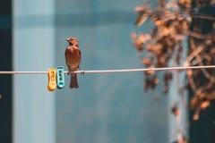 Wenig roter Vogel, der auf einer Wäscheleine aufwirft lizenzfreies stockfoto