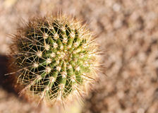 Wenig runder Kaktus Lizenzfreies Stockbild